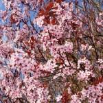 cherry-plum-293359_640