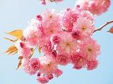 cherry-blossom-1260641__340