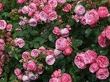 rose-8219__340